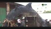 福建石狮渔民误捕巨型鲸鲨 体长超4米重约2吨
