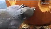 超赞动手能力 小松鼠制作南瓜灯