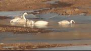 破天荒 数十只大天鹅首次光临山西沁源沁河越冬