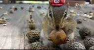 小松鼠吃松果