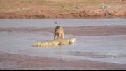 三只申博开户攻击鳄鱼 鳄鱼落荒而逃