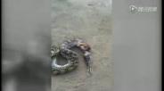 实拍蟒蛇被捉吐出五只死鸟