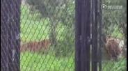 直击上海野生动物园一群老虎活活咬死狗熊