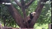 动物园里过中秋 熊猫们爱上吃月饼