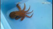 有点凶猛的小章鱼【没错是蓝环章鱼】