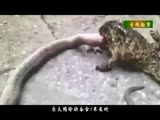 巨大蟾蜍欲吞食1米长蛇