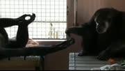 终于等到你:大猩猩被关18年后首次见同类不愿放手