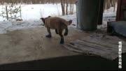 哈哈哈!穿上鞋的宠物 仿佛身体被掏空!