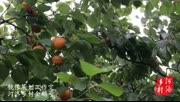 洛阳前五龙沟的万亩贡杏熟了,看着诱人呀