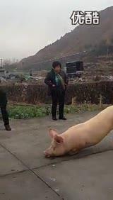 温州永嘉一寺院现跪拜猪