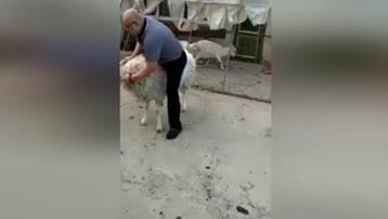 光头男骑羊玩耍遭攻击