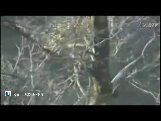 探寻地球最神秘家族:安康汉中朱鹮掠影一 记者 王开成