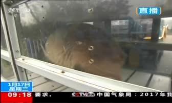 """1月17日 9点新闻 四川 大熊猫""""华豹""""""""金宝宝""""将启程前往芬兰"""