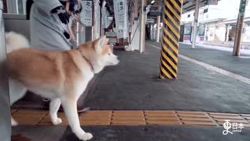 秋田犬 微信