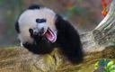 这熊猫一看就是亲生的
