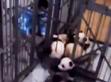 防不胜防!熊猫宝宝上演胜利大逃亡