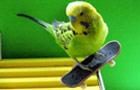 厉害了!鹦鹉玩滑板杂技
