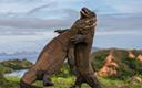现场派:罕见巨蜥搏斗