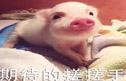 云养猪:我想开个养猪场,每天吸猪有力量