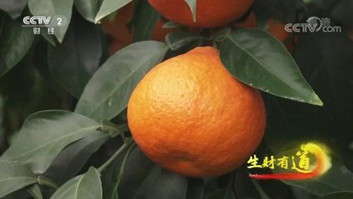 《生财有道》 20191218 咱们家乡有特产 浙江象山:橘生山海间 生财味道甜