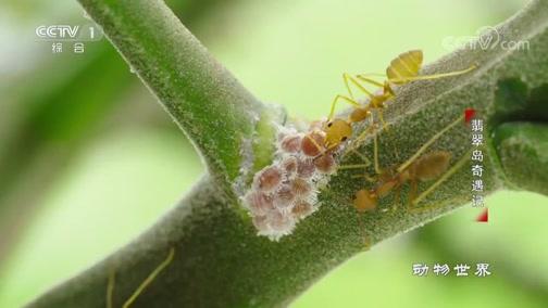 [动物世界]吃货!枝叶蚁为了蜜露 为蚜虫保驾护航