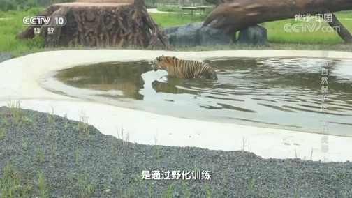 [地理·中国]东北虎的野化训练