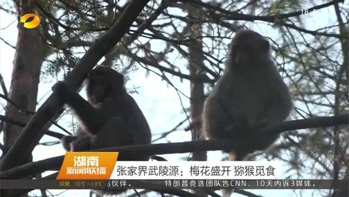 [湖南新闻联播]张家界武陵源:梅花盛开 猕猴觅食