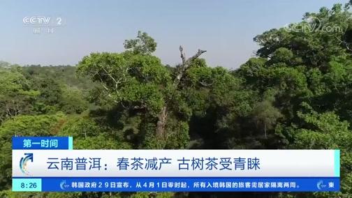 [第一时间]云南普洱:春茶减产 古树茶受青睐