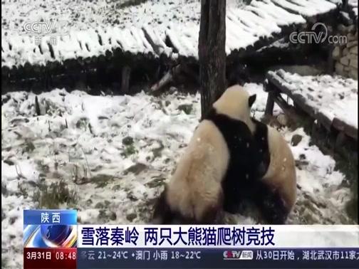 [朝闻天下]陕西 雪落秦岭 两只大熊猫爬树竞技