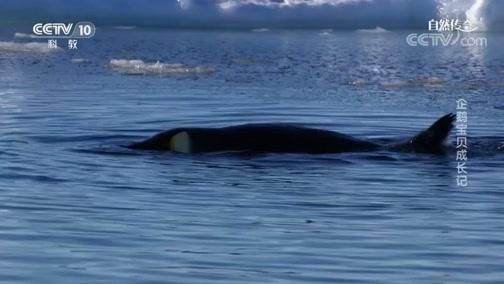 《自然传奇》 20200521 企鹅宝贝成长记