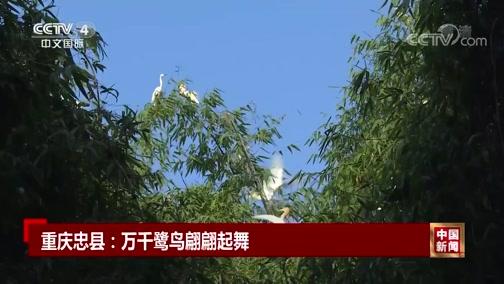 [中国新闻]重庆忠县:万千鹭鸟翩翩起舞