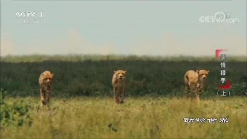 [动物世界]猎豹:陆地上奔跑最快的动物 善于团队合作