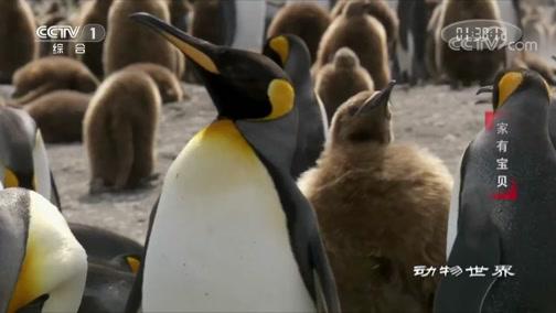 """[动物世界]最大的""""育儿所""""里 小企鹅们真是太可爱了"""