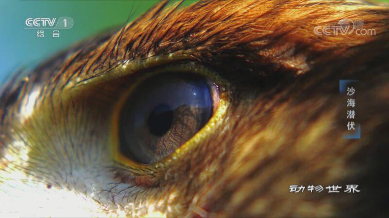 [动物世界]眼神犀利 速度迅猛 雄鹰堪称高度灵敏的猎杀机器