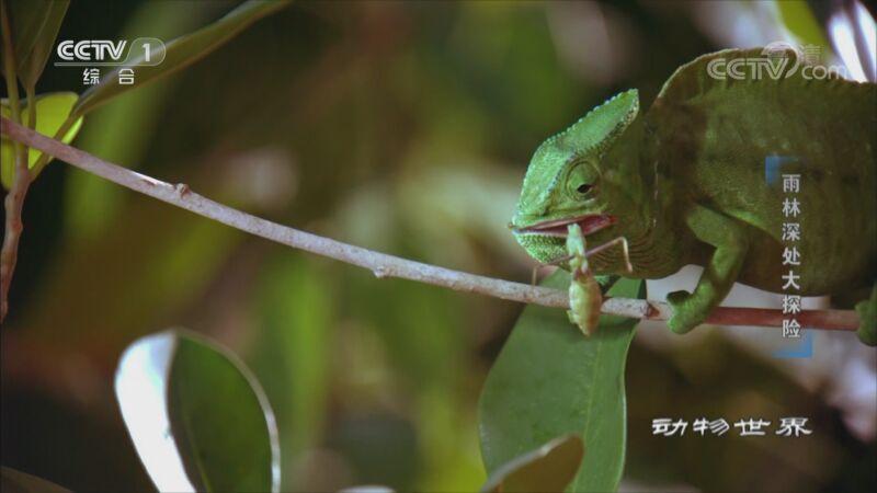 [动物世界]螳螂捕虫蜥蜴在后 幼虫孵化难逃一劫
