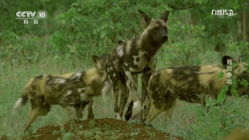 《自然传奇》 20210419 野狗争战