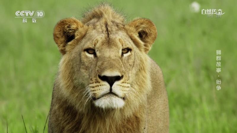 《自然传奇》 20210426 狮群故事·纷争