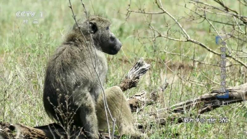 《动物世界》 20210612 小狒狒和它的家族(上)