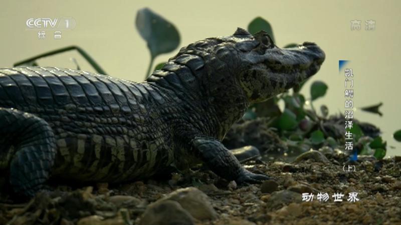《动物世界》 20210626 凯门鳄的沼泽生活(上)