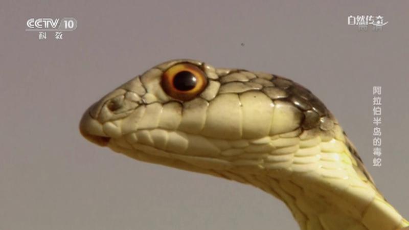 《自然传奇》 20210629 阿拉伯半岛的毒蛇