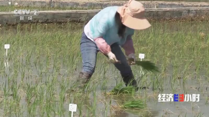 """《经济半小时》 20210712 """"海水稻"""":盐碱滩上育秧忙"""