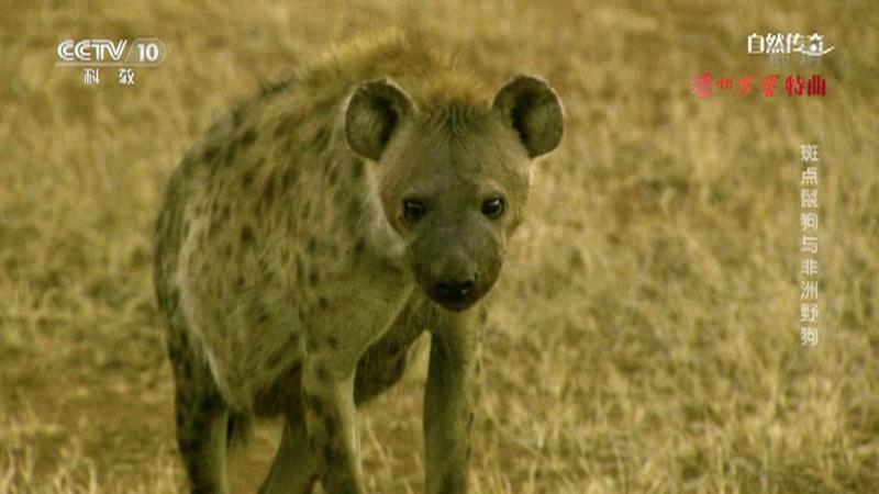 《自然传奇》 20210725 斑点鬣狗与非洲野狗
