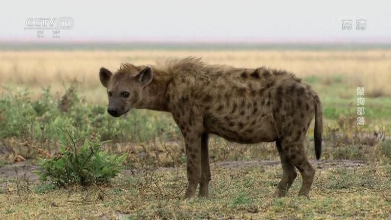 《自然传奇》 20210729 鬣狗部落