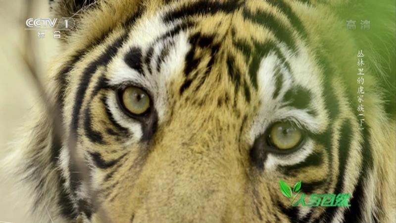 《人与自然》 20210827 丛林里的虎家族(下)