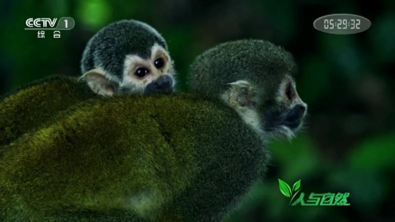 《人与自然》 20210904 丛林生存者——呼唤爱侣(上)