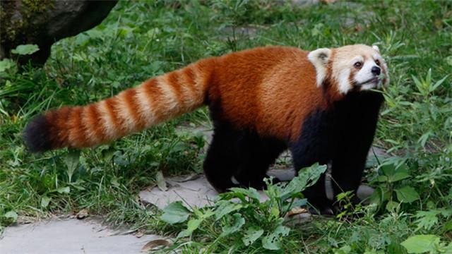 四川阿坝州村民发现野生小熊猫