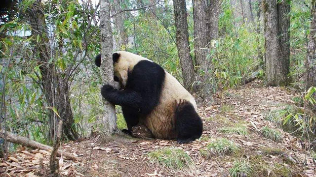 陕西红外相机捕捉到野生大熊猫影像