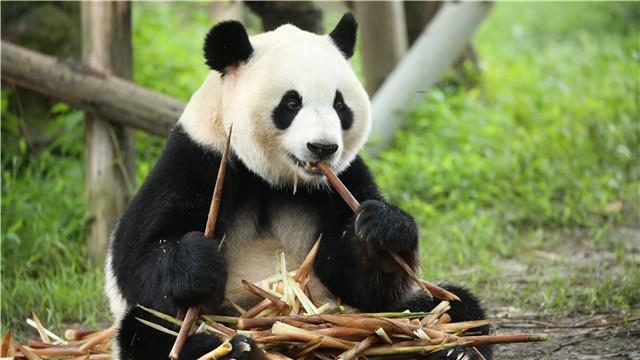 大熊猫首次落户青藏高原