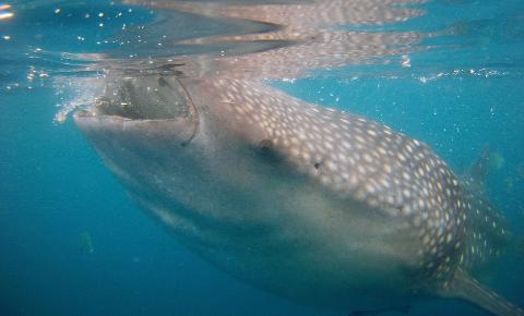 鲸鲨吃人吗? 00:01:13