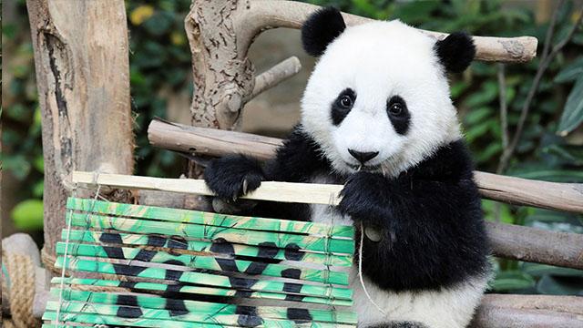 """旅马大熊猫二胎宝宝在命名仪式上得名""""谊谊"""""""